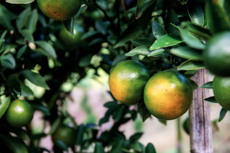 Healthy Eating Fruit Food Food And Drink Growth Plant Freshness Tree Wellbeing Leaf Plant Part Green Color No People Fruit Tree Focus On Foreground Close-up Day Nature Beauty In Nature Citrus Fruit Outdoors Ripe Orange