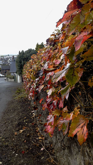 Autumn Beauty In Nature Day Fall Leafes Leaves Nature No People Outdoors Red Colour Sky Street Streetphotography