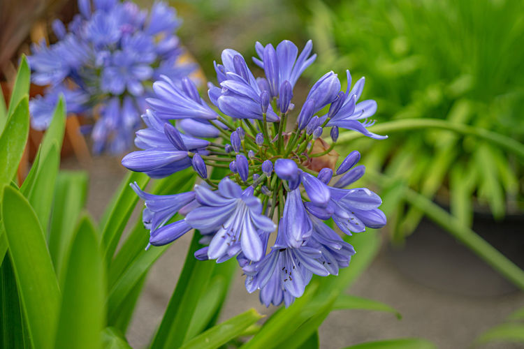 Flower Flowering Plant Plant Fragility Beauty In Nature Vulnerability  Growth Purple Nature Freshness Close-up Inflorescence Petal Blossom Plant Part Leaf No People Blue Flower Head Green Color Softness Spring Leaves Bright Gardening