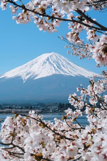 Cherry blossom tree with snowcapped mountain in background