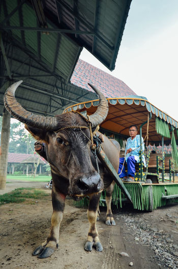 Animal Animal Themes Buffalo Buffalo Pulled Cart Cart Racing Countryside Cow Culture Domestic Animals Innocent Little Village Livestock Mammal Nature Old Man One Animal One Person Philippines Rural The Philippines Traditional Transportation Transportation Travel Village Life Villager Pet Portraits