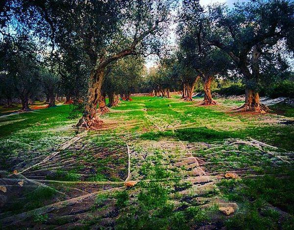 Salento Ortelle Tradizioni Olivo Campagna Natura Nature Italia Puglia Italy Olive