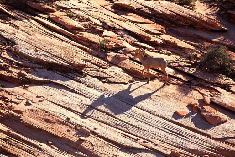 Zion Bighorn Sheep Desert Arid Climate Bighorn Sheep Zion National Park Utah Desert Bighorn Sheep RAM Horned Horns Male Animal Wildlife Wild Animal Horned Animals Petroglyphs Shadow Shadowplay Shadow And Light Shadow Photography Shadow Sand Sunlight Textured  High Angle View Focus On Shadow