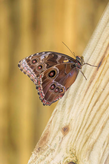 EyeEm Selects Butterfly Blue Morpho Morpho Peleides Beauty Insect Animal Wildlife Butterfly - Insect Close-up Outdoors Perching Nature Macro EyeEmNewHere