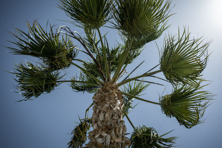 Palm tree Beauty In Nature Blue Branch Clear Sky Close-up Day Green Color Growth Leaf Low Angle View Nature No People Outdoors Palm Leaf Palm Tree Plant Sky Tranquility Tree Tree Trunk Tropical Climate