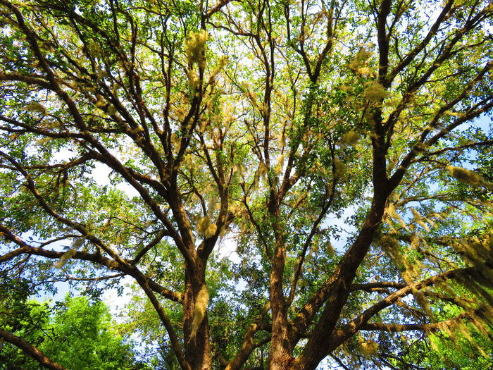 Treetop with many branches Tree Branch Forest Tree Trunk Sky Tree Canopy  Treetop Upward View Growing Full Frame