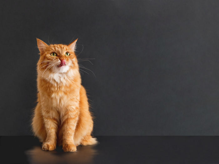Portrait of cat standing against black background