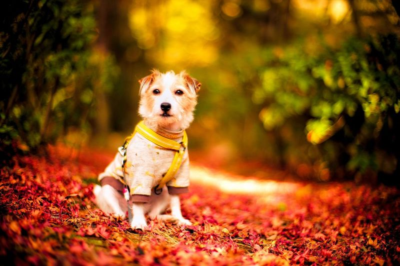 Fall Autumn colors Dog Photography Dog Portrait Portrait Red Colors Of Autumn Fallen Leaves Kinoko Jack Russell Terrier Jack Russell One Animal Canine Dog Mammal Animal Themes Animal Pets Domestic Domestic Animals Nature Autumn Leaf Plant Part No People Sitting Land Plant Young Animal Selective Focus