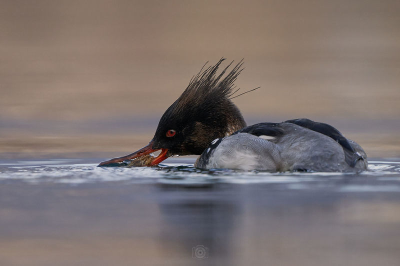 Side view of a bird drinking water