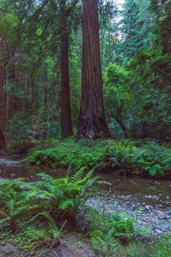 Redwoods Tree Forest Plant Land Growth Tree Trunk Trunk Tranquility Green Color Scenics - Nature Beauty In Nature Nature WoodLand Day No People Tranquil Scene Lush Foliage Foliage Water Non-urban Scene Outdoors Rainforest Flowing
