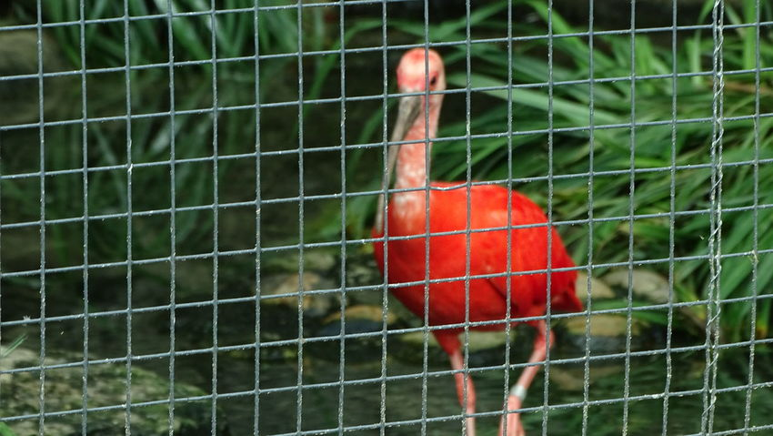 Bird Red One Animal Cage Animal Themes Beak Close-up Nature Day Outdoors No People ZooLife