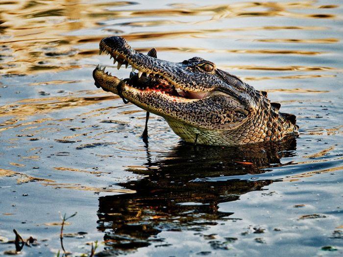 Gator's Breakfast Alligator Alligators Chomp Gator No People Outdoors Pond Predator
