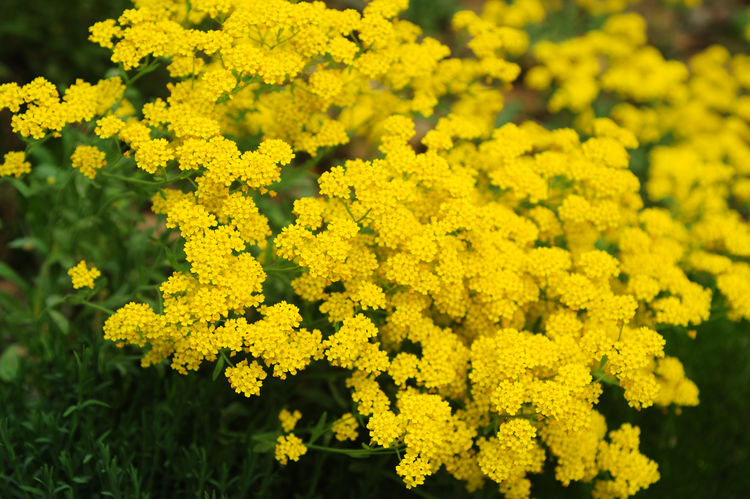 Golden alyssum (Aurinia saxatilis) yellow flowers in full bloom during spring time. This plant usually using in Alpine rock garden decoration with joyful yellow color. Aurinia Saxatilis Gardening Golden Alyssum Abundance Alpine Garden Alpine Garden Plants Beauty In Nature Close-up Field Flower Flower Head Flowering Plant Focus On Foreground Growth Nature Outdoors Plant Průhonice Průhonický Park Selective Focus Spring Bloom Springtime Yellow Yellow Flowers