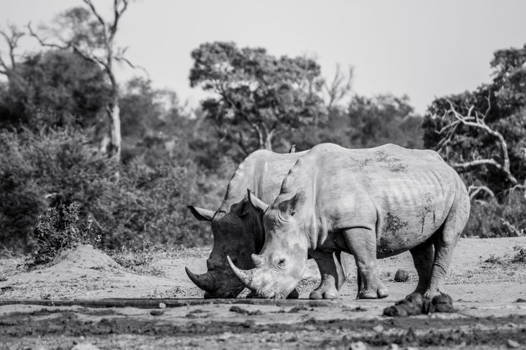 White rhinos at watering hole in africa