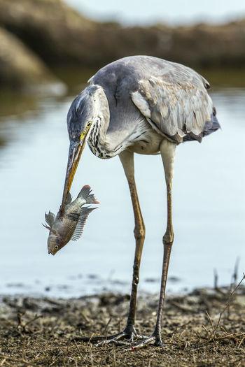 Gray heron hunting fish on lakeshore