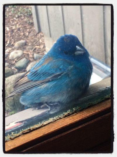 Indigo Bunting Spring Has Arrived Bird Photography
