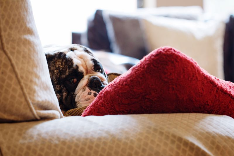 Dog Pets Relaxation Home Interior Animal Themes One Animal Indoors  Cushion Mammal Bed Domestic Animals Lying Down No People Close-up Bedroom Couch Day English Bulldog