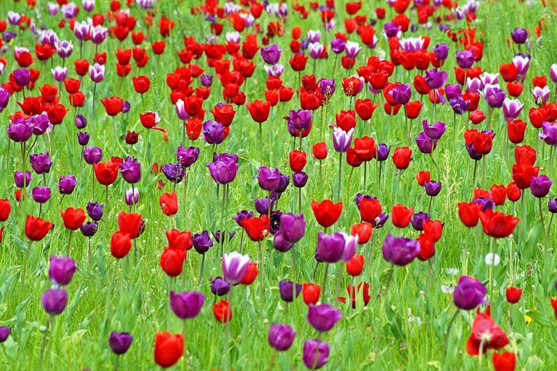Multi colored poppy flowers blooming in field
