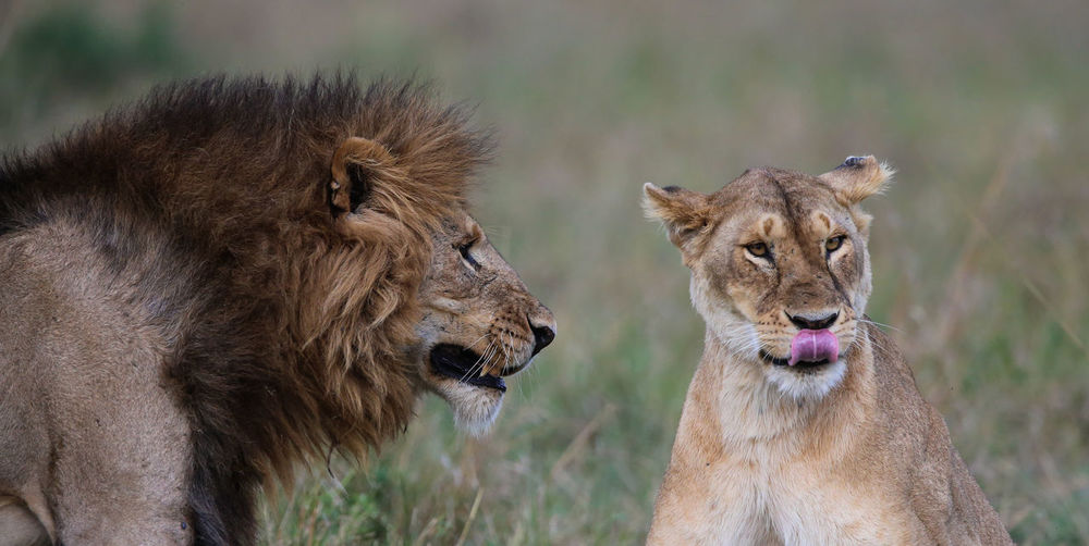 Mating lions Lion Couple Mating Lions In The Masai MARA, Kenya. Animal Themes Animal Wildlife Animals In The Wild Day Focus On Foreground Grass Lion - Feline Lion And Lioness Lion Cub Lion King  Lioness Lions In Love Loving Lions Mammal Mating Lions Nature No People Outdoors