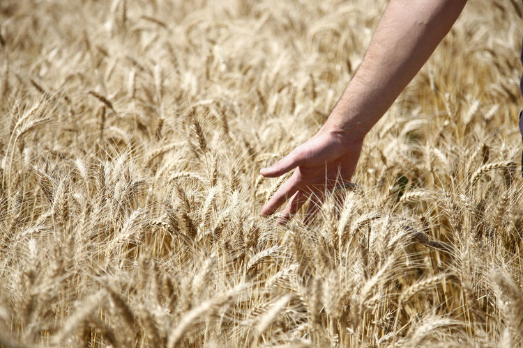 Close-up of hand touching wheat plants on field