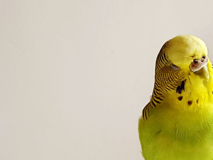 Close-up of yellow budgerigar against white background