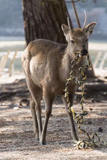 Deer chewing a
