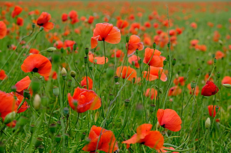 Background Beauty In Nature Blooming Field Flower Flower Background Flower Collection Flower Head Flowers Freshness Garden Garden Flowers Garden Photography Growth Orange Color Plant Plants And Flowers Plants Collection Poppy Poppy Fields Poppy Flower Poppy Flowers Poppy Season Red Summer Sommergefühle