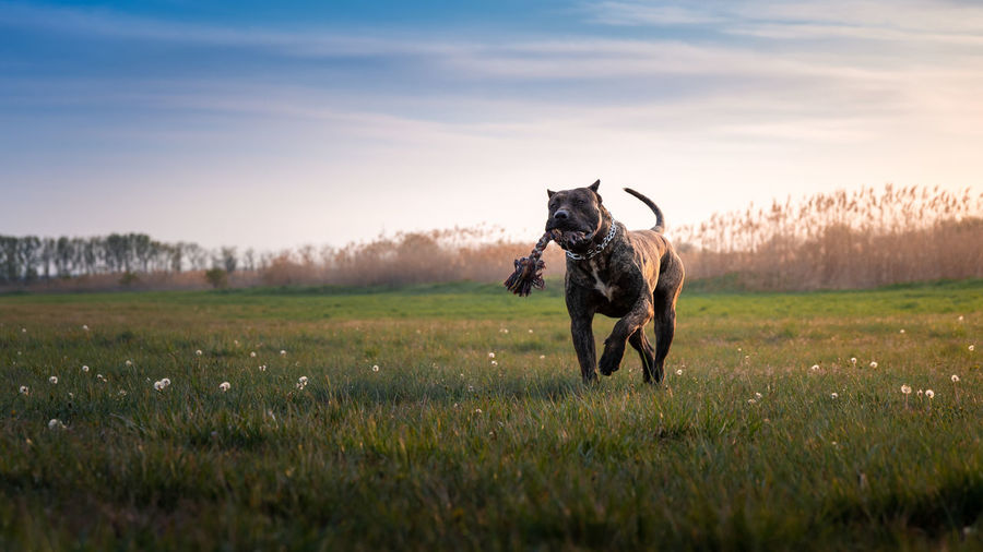 Dog running and playing on moody field in the sunshine.