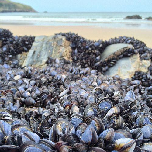 Close-up of mussels on rock at beach
