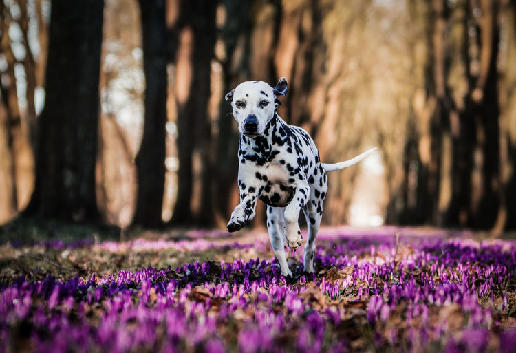 Dalmatian Dog Running On Field