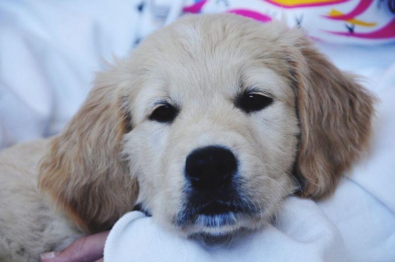 Duma Dog Canine