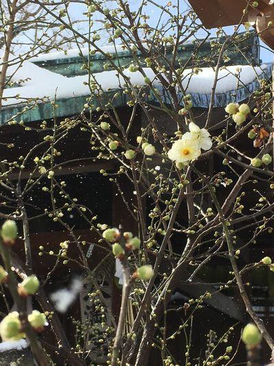 Nature Flower Tree Snow Kyoto