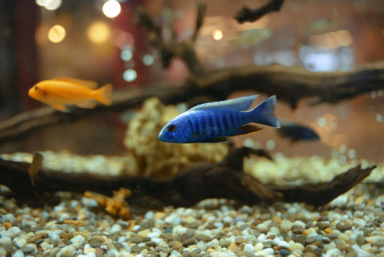 Animal Themes Animal Wildlife Animals In Captivity Animals In The Wild Aquarium Beauty In Nature Close-up Day Fish Focus On Foreground Goldfish Indoors  Nature No People One Animal Sea Life Swimming UnderSea Underwater Water Wildlife