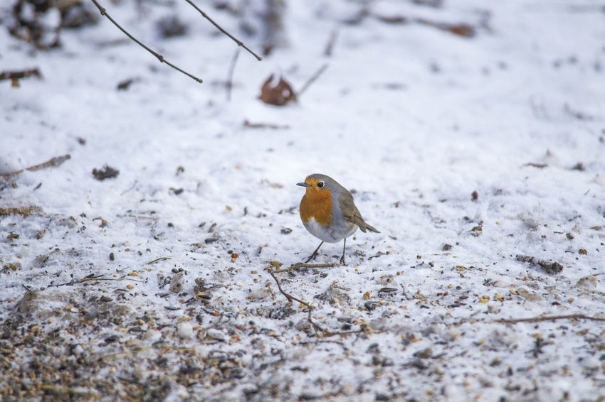 male robin in courtship plumage sits in the snow Animal Themes Animal Wildlife Animals In The Wild Beauty In Nature Bird Close-up Day Field Nature No People One Animal Outdoors Perching Robin Snow Winter