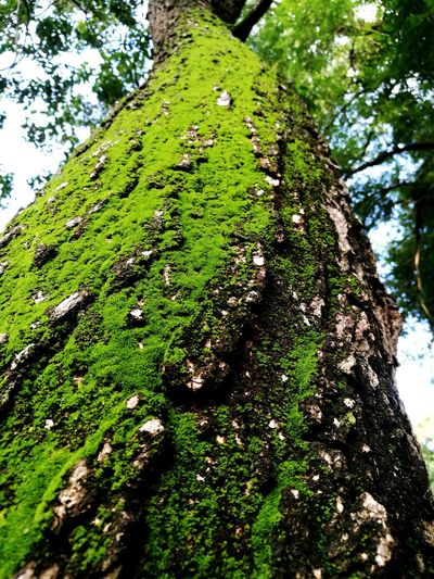 Tree Tree Trunk Moss Close-up Sky Green Color Growing Greenery Green Woods