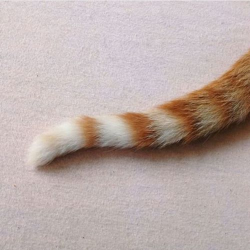 ♡ Cat Rabo Calda Animal Coral