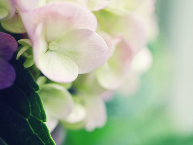 Flower Collection Flower Flowers Japanese  Flower Head Tree Beautiful Day Reaf Photography Nature Photography Beautiful Beautiful Nature Beauty In Nature Nature_collection Hydrengea Beauty