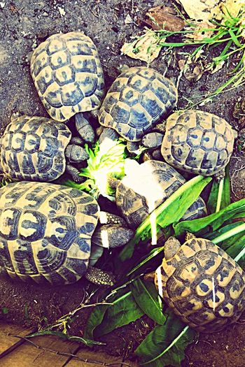 Tortoise Nature Tetsudo Hermanni Garden Salad Time