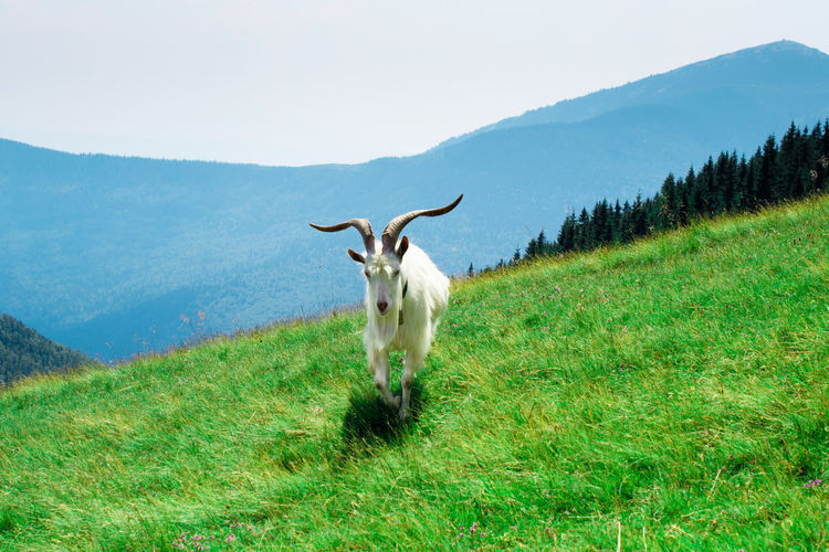 Mountain goat running on grassy hill