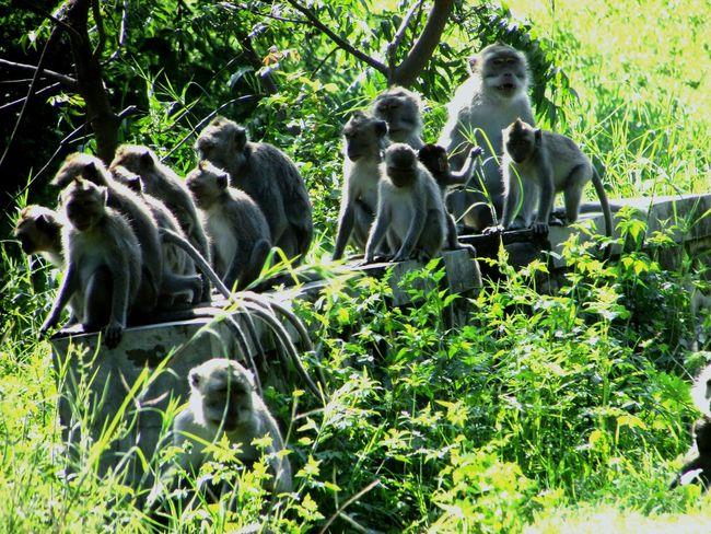 A big family of monkey get breaking together. Balurannationalpark Situbondo Eastjava INDONESIA Dryseason Wildlife & Nature