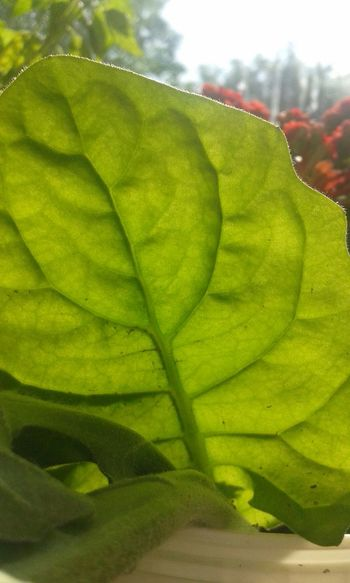 Plants Plants Nature_collection Nature Summer My Own Photography Ownphotos Naturelovers Lookingup Flowers Leaves