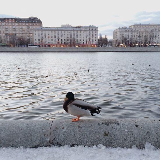 Duck Winter River уточка набережная зима река Nature Light