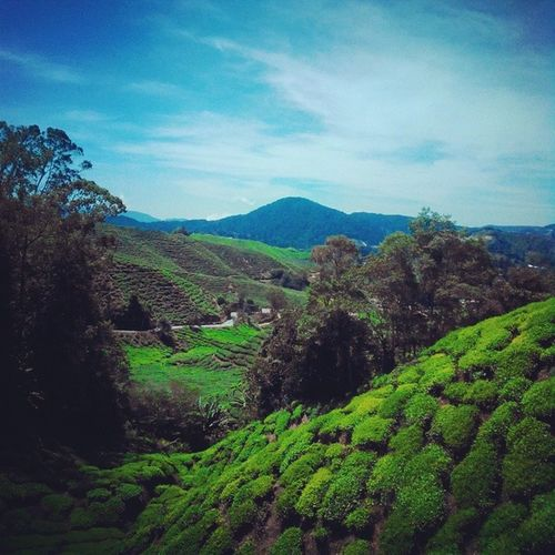 Another shot of the tea plantations up in the hills of Cameron Highland. Almost surreal. Tea Plantation Cameronhighlands Green nature mountains picturesque cold Malaysia