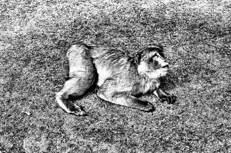 monkey at Tiergarten Neustrelitz Black & White Neustrelitz Animal Animal On The Ground Monkey One Animal Sony Alpha 58