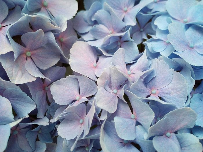 true blue Hydrangeas No People Nature Photography Flower Full Frame Backgrounds Close-up Blooming Plant Life Flower Head
