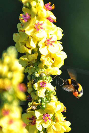 im Anflug... Biene 🐝 Bienen  Blumen Im Anflug Beauty In Nature Blüte Blütenstaub Flower Flower Head Flowering Plant Fragility Freshness Growth Natur Pur No People Plant Vulnerability