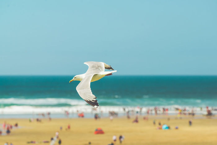 Seagull flying high over a beach with the sea in the background. Colour enhancement, exposure and soft focus used for effect. Animal Beach Beauty In Nature Bird Blue Clear Sky Coast, Sand Day Daylight Feathers, Soft, Contrast, Light, Delicate, Fragile, Light And Dark Flight Flying Bird Horizon Over Water Large Group Of People Leisure Activity Nature Outdoors People Sand Scenics Sea Seagull, Birds, Flight, Fly, Hover, Feathers, Wings, Beaks, Span, Shore Sky Water
