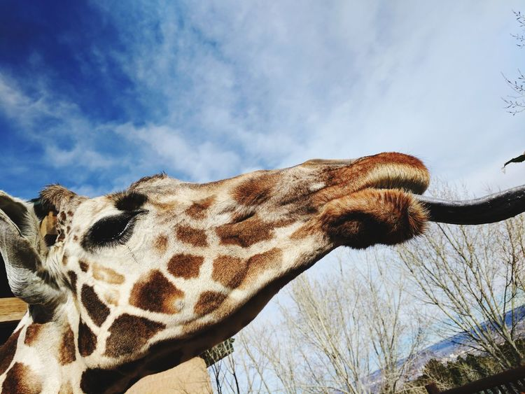 EyeEm Selects Low Angle View One Animal Nature Giraffe Sky Outdoors Day Animal Themes Beauty In Nature Close-up Mammal Giraffe♥ Giraffe Tongue