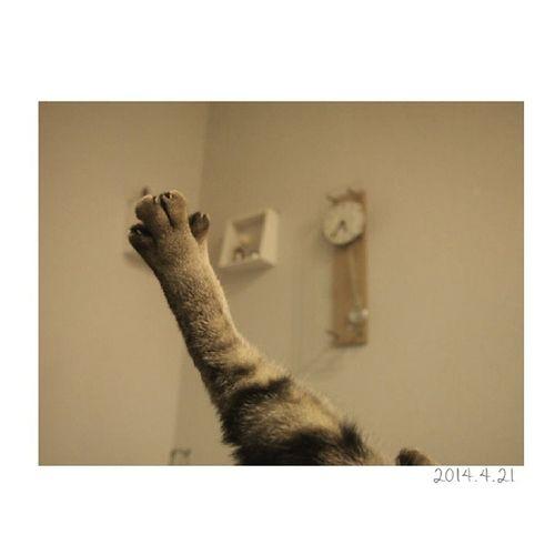 きんたろう、只今エクササイズ中。* とても足の伸び加減がキレイ!! きんたろう 金太郎 ねこ 猫 にゃんこ後ろ足catig_catエクササイズは嘘ですおやばか親ばか部可愛い