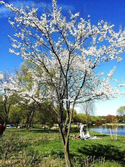 цветущее дерево весна пришла Прогулка в парке Springiscoming Flowering Tree